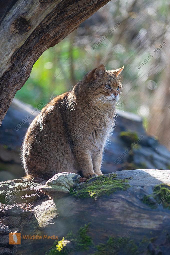 Wildkatze Felis silvestris silvestris auf einem Felsen