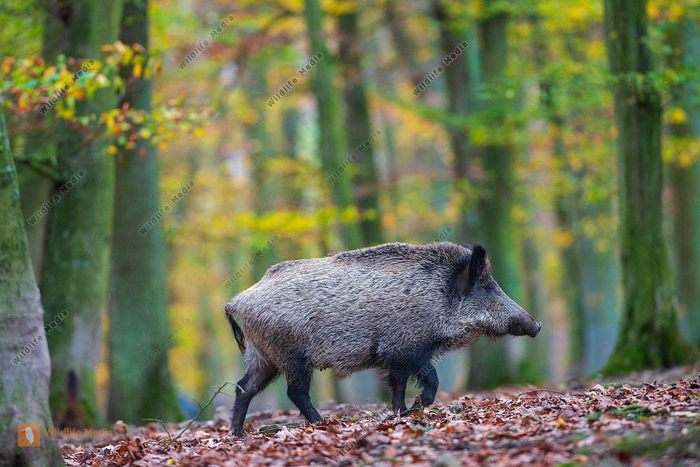 Wildschwein Sus scrofa im Wald