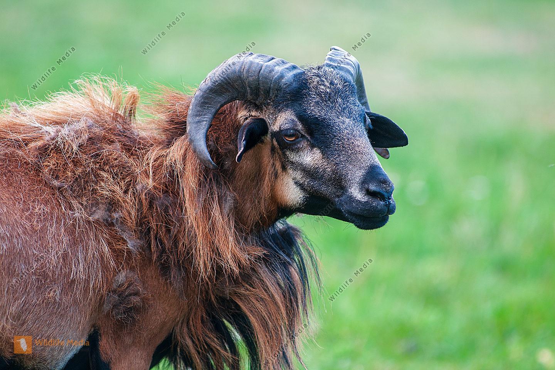 Kamerunschaf Ovis aries Bock