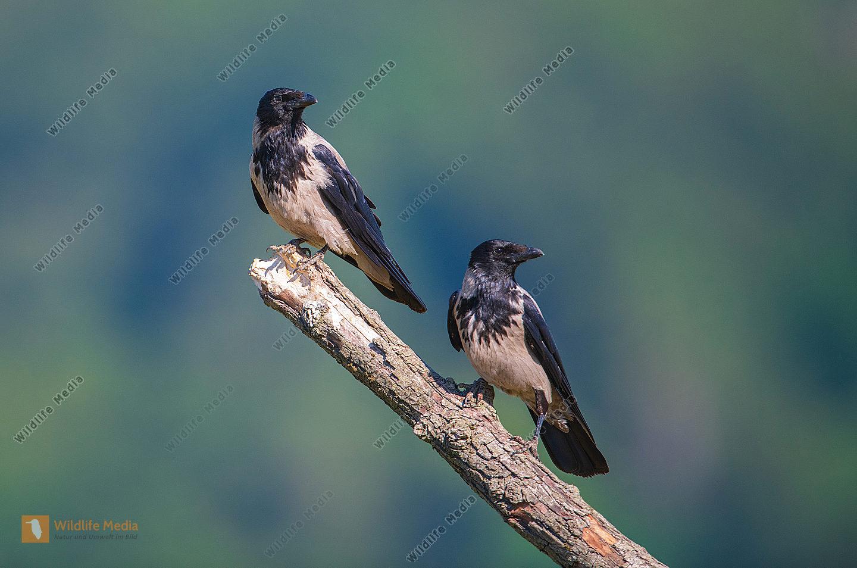 Nebelkrähen Corvus corone im Sommer