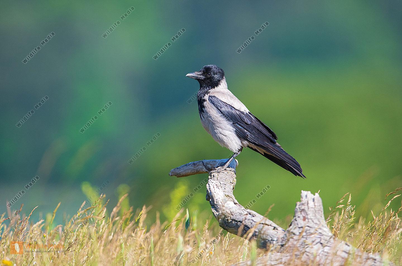 Nebelkrähe Corvus corone im Winter