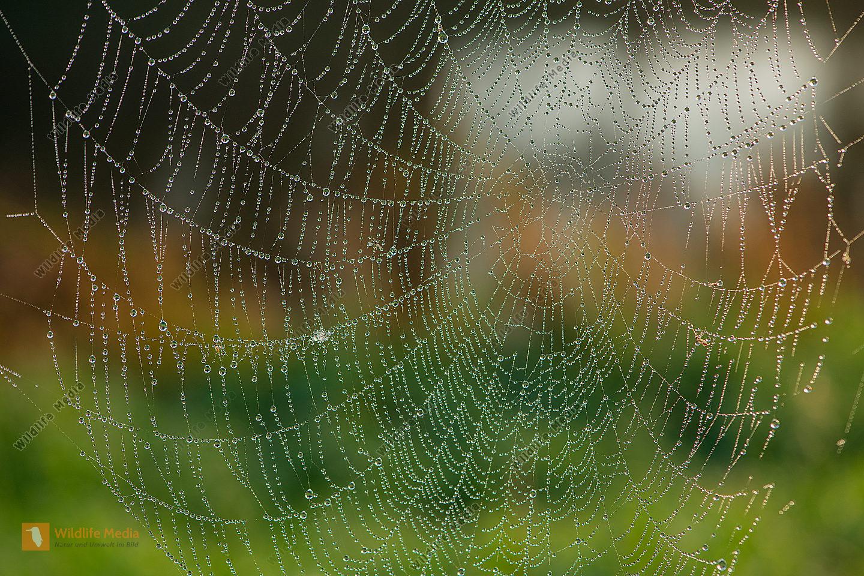 Spinnwebe im Morgentau Gegenlicht