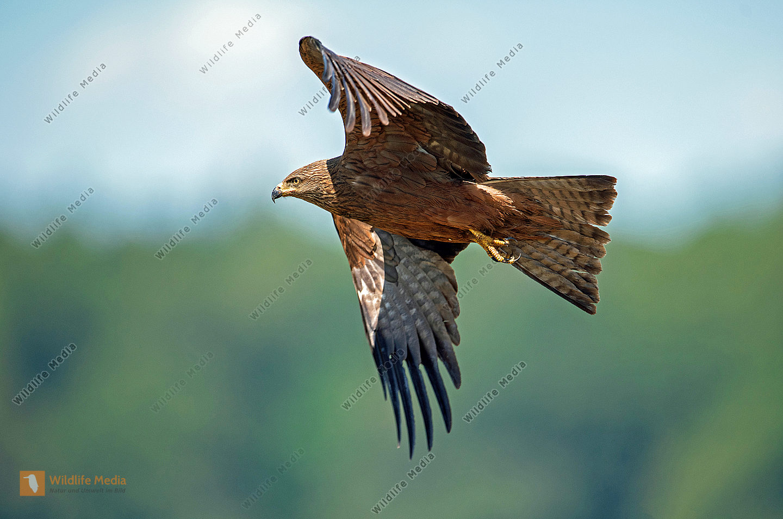 Schwarzmilan Milvus migrans im Flug