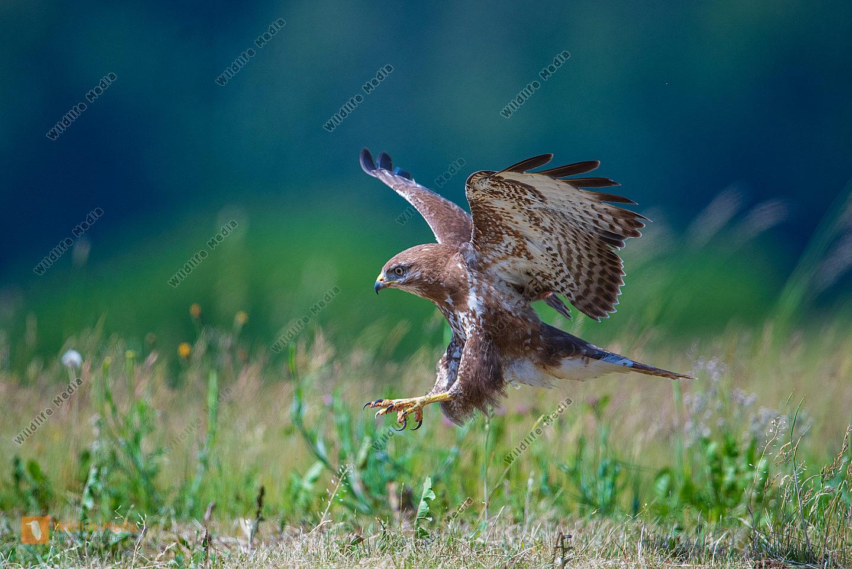 Mäusebussarde Buteo buteo bei der Landung