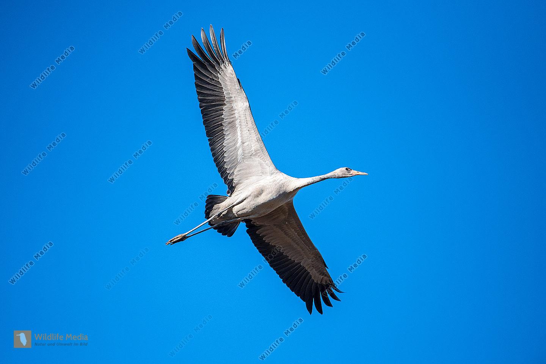 Fliegender Kranich Grus grus Jungvogel