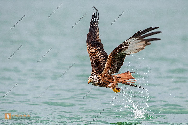 Fliegender Rotmilan Milvus milvus mit Beute