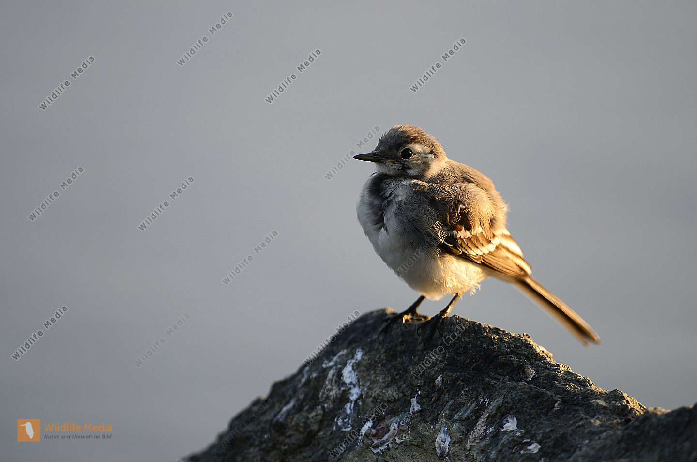 Junge Bachstelze Motacilla alba in der Morgensonne