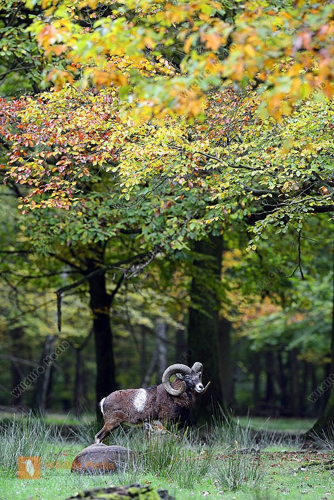 Muffelwidder Ovis orientalis im Herbst