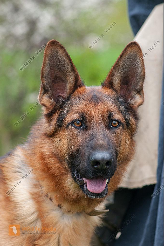 Deutscher Schäferhund Canis lupus familiaris auf der Schafweide