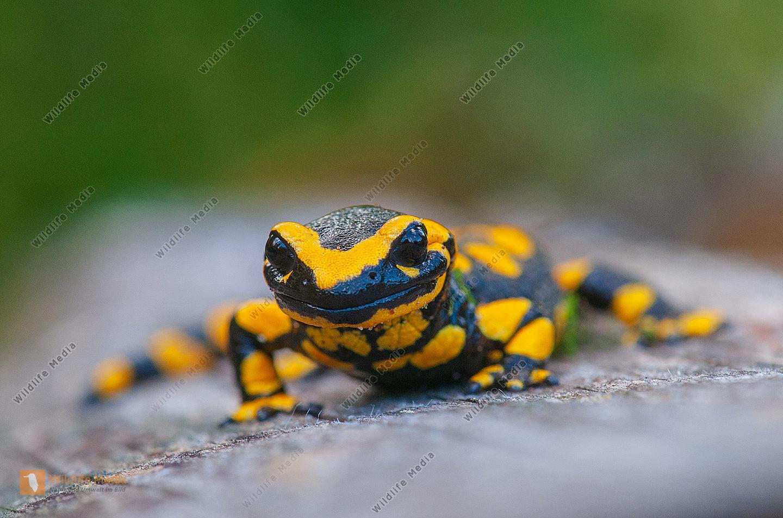 Feuersalamander Salamandra salamandra auf einem Baumstamm