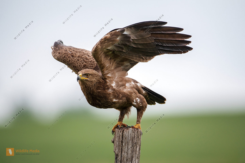 Schreiadler Clanga pomarina bei der Landung