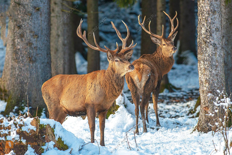 Rothirsch Cervus elaphus im Winter