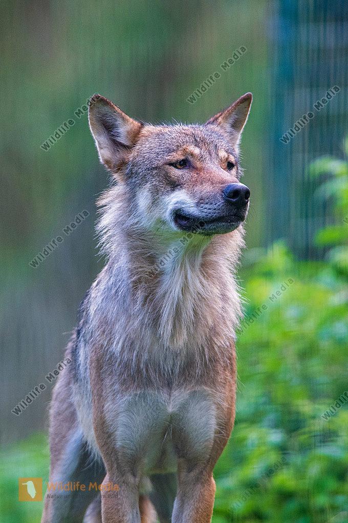 Europäischer Wolf Canis lupus Nahaufnahme