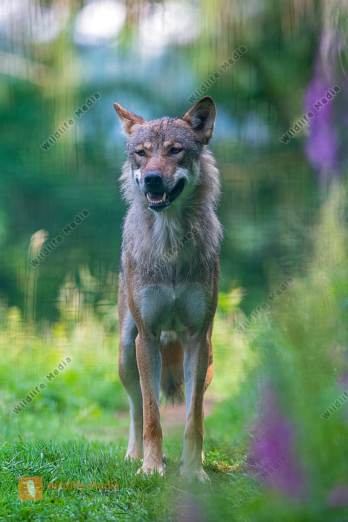 Europäischer Wolf Canis lupus Hochformat