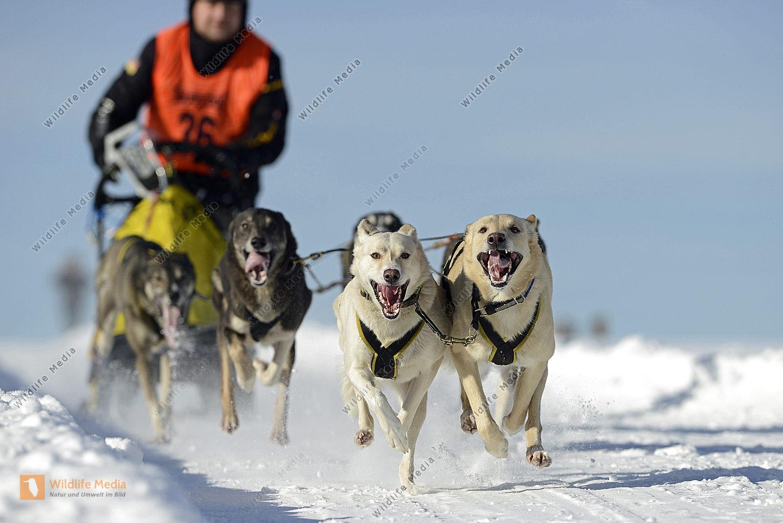 Schlittenhundegespann Canis lupus familiaris beim Rennen