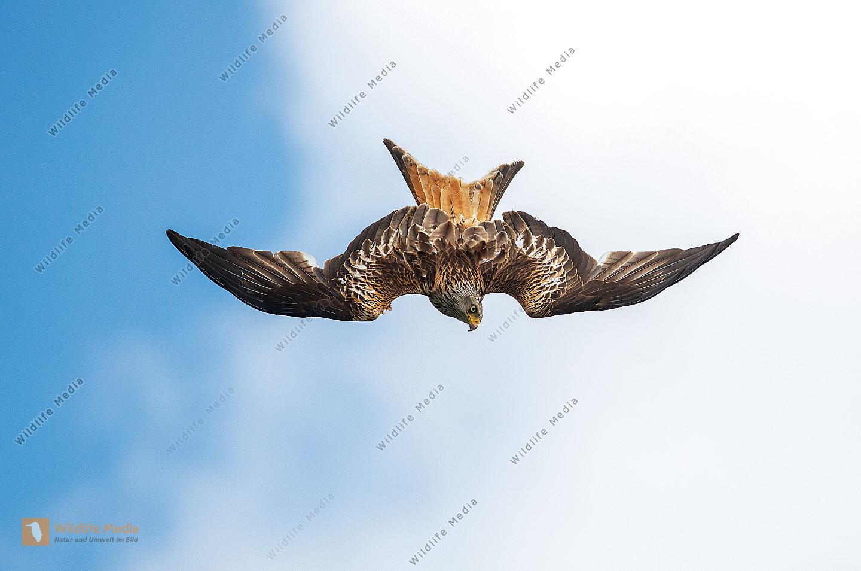 Rotmilan Milvus milvus im Sturzflug