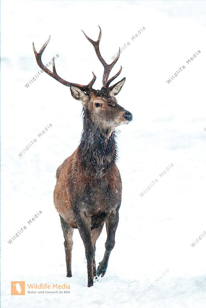 Junger Rothirsch Cervus elaphus im Winter