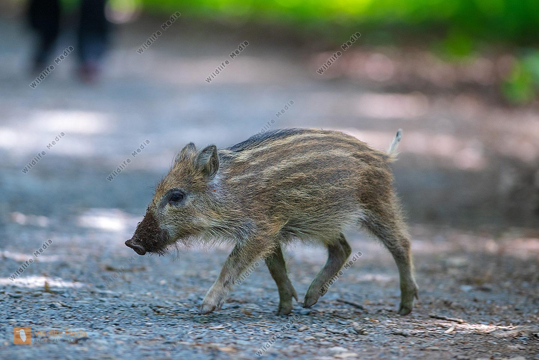 Wildschwein Sus scrofa Frischling