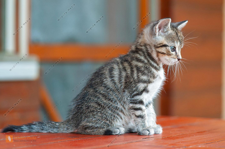 Junge Hauskatze Felis silvestris catus