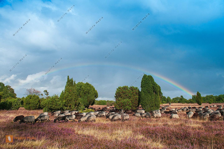 Heidschnuckenherde Ovis aries in der Lüneburger Heide mit Regenbogen