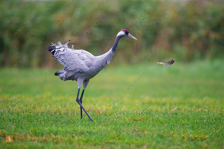 Kranich Grus grus Altvogel im Herbst