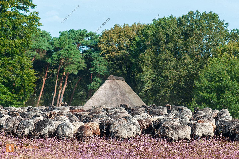 Heidschnuckenherde Ovis aries in der Lüneburger Heide