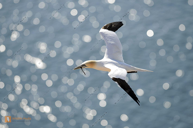 Fliegender Basstölpel Morus bassanus im Gegenllicht