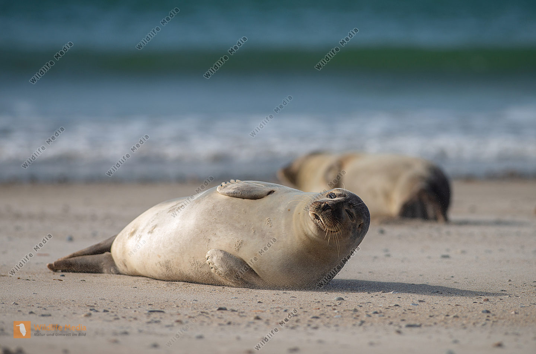 Seehunde Phoca vitulina am Strand
