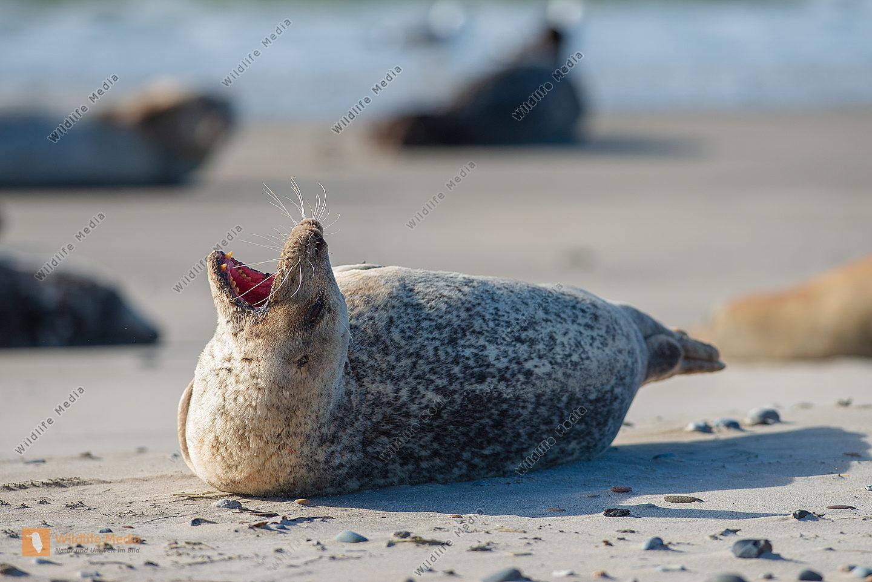 Seehund Phoca vitulina am Strand