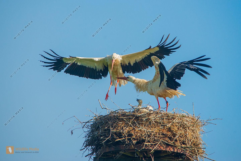 Junge Weißstörche Ciconia ciconia am Nest