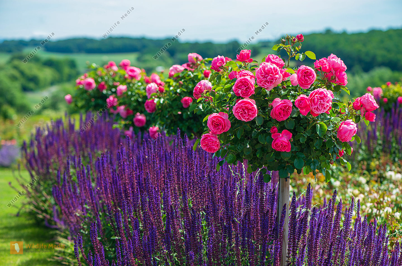 Rosenstock Rosa mit Lavendel Lavandula