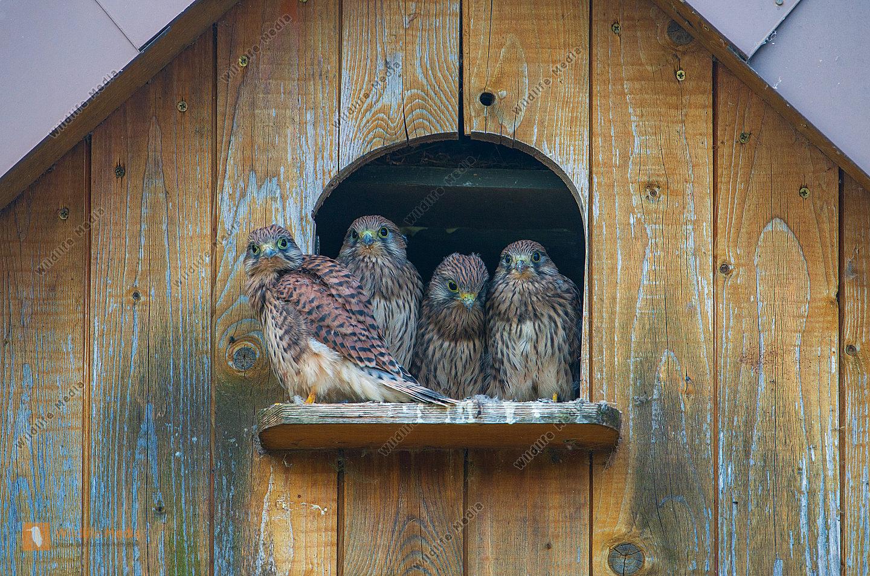 Junge Turmfalken Falco tinnunculus