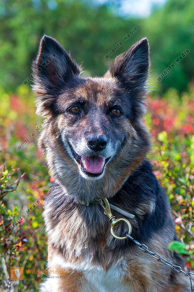 Junger Altdeutscher Hütehund Canis lupus familiaris Portrait