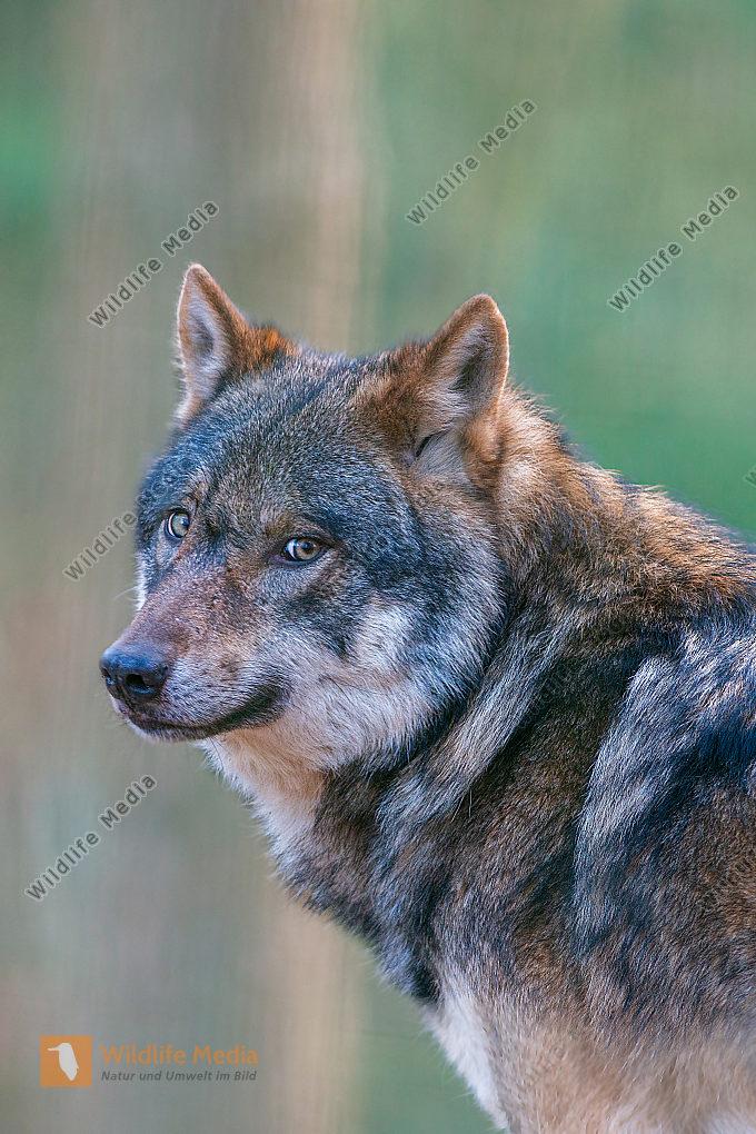 Europäischer Wolf Canis lupus