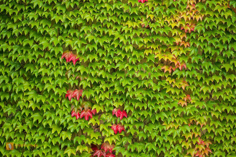Wilder Wein Parthenocissus quinquefolia
