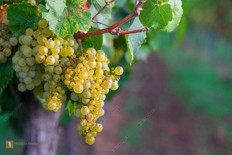 Weiße Weinreben Vitis vinifera