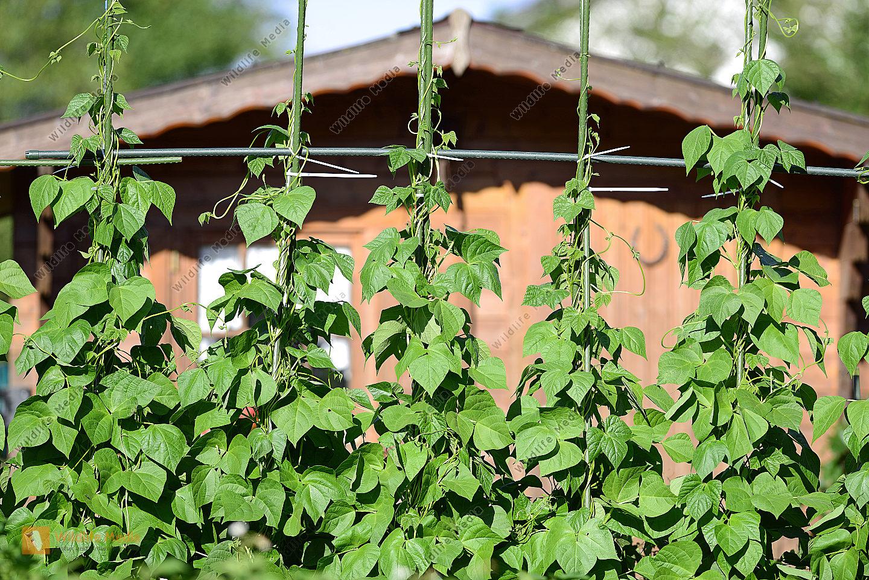 Spalierbohnen im Sommer