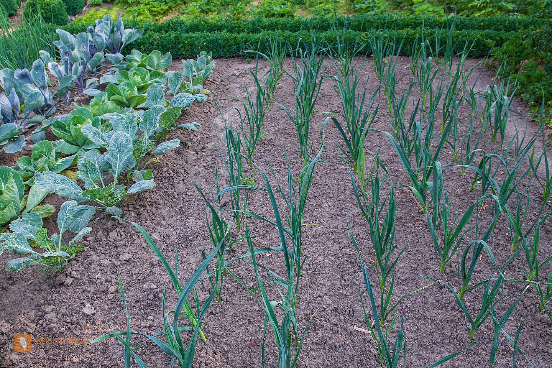 Gemüsegarten im Frühsommer