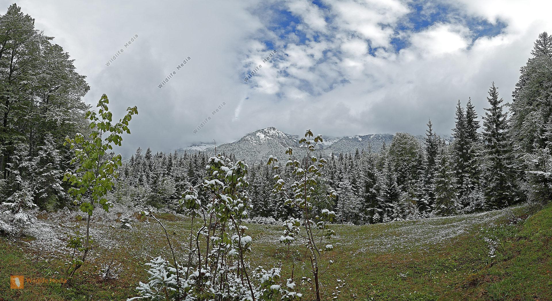Europäischer Primärurwald im Frühling Panorama