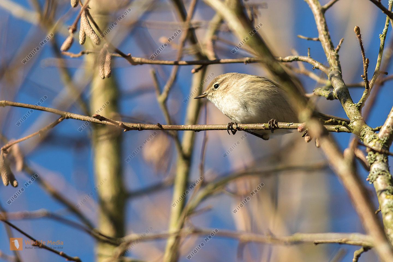 Ein Zilpzalp ruht auf einem Zweig