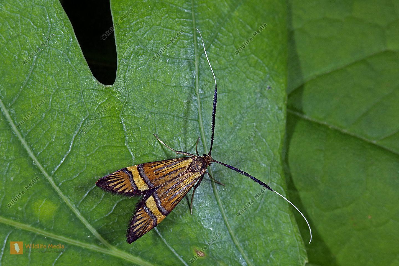 Langhornmotte Nemophora degeerella