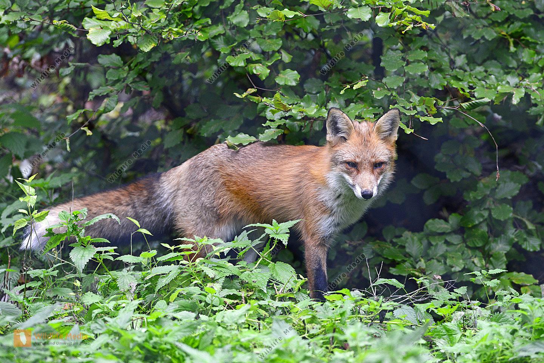 Fuchs Vulpes vulpes im Unterholz