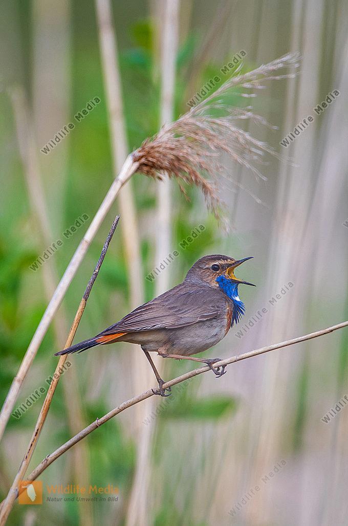 Blaukehlchen Männchen