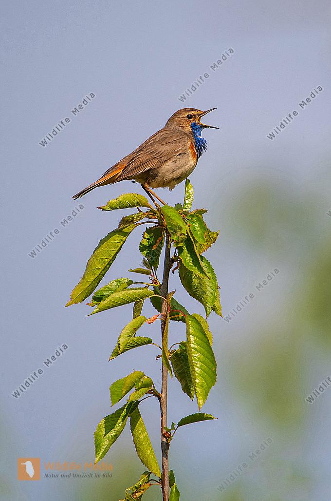 Singendes Blaukehlchen Lucinia svecica Männchen