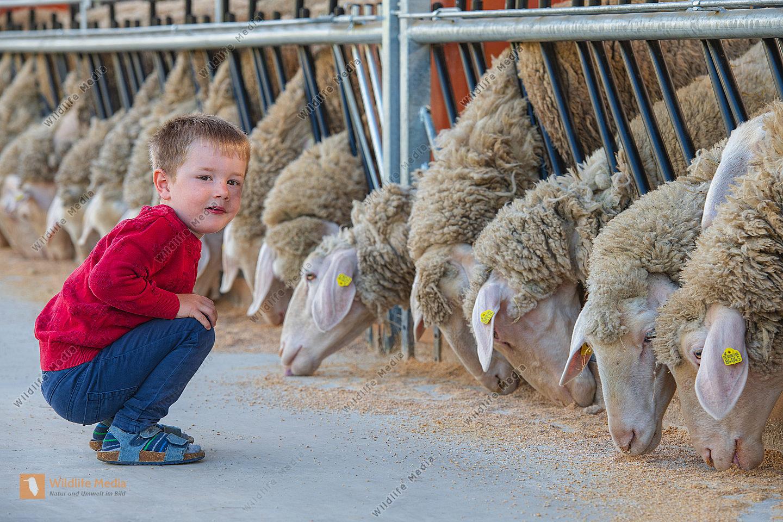 Fütterung der Schafe