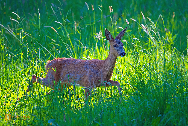 Reh Ricke im Gras