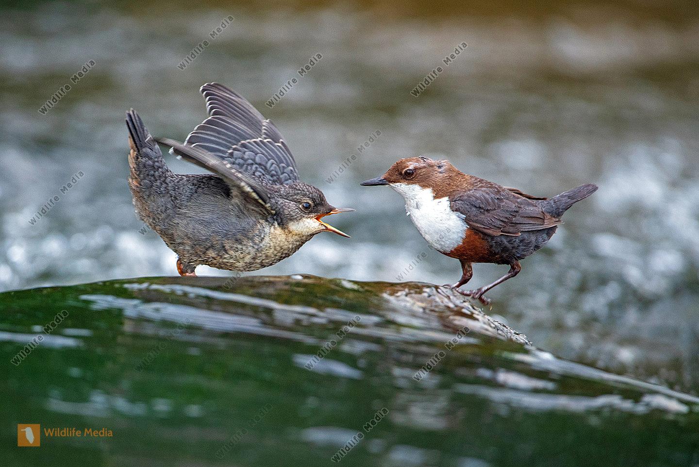 Wasseramsel Alt- und Jungvogel