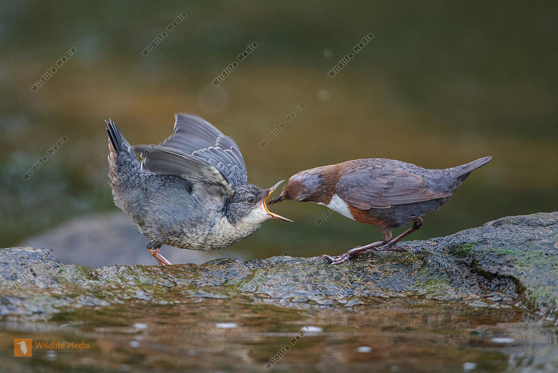 Wasseramsel beim Füttern des Jungen