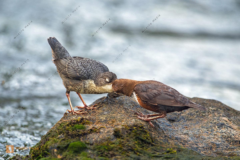 Wasseramsel füttert ihr Junges