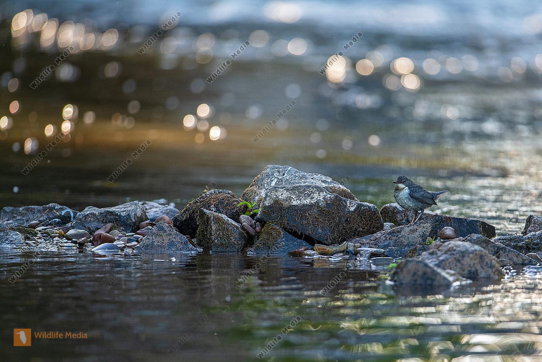 Junge Wasseramsel auf Steinen